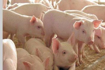 """""""El potencial de Entre Ríos para crecer en producción porcina es altísimo"""" aseguraron desde la Cámara Nacional"""