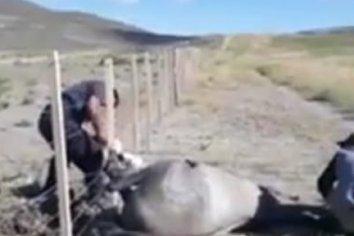 Emocionante rescate: el caballo casi muere si no fuese por la ayuda de estos baquianos. El video
