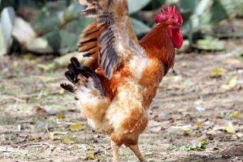 Se peleaban por un gallo y lo apuñaló