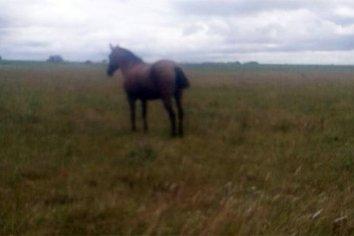 Con un caballo robado ingresaron a un campo y carnearon novillos