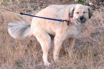 El insólito motivo por el que un perro te mira cuando hace caca