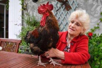 Un gallo ganó el juicio y podrá seguir cantando