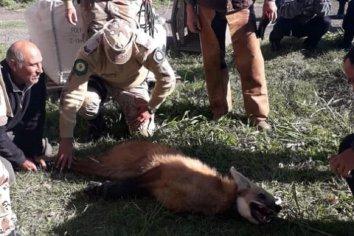 Lograron capturar al aguará guazú que deambulaba por Paraná
