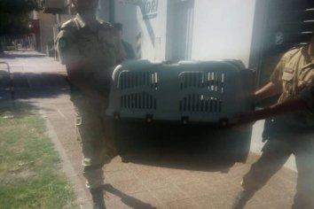 Hallaron al zorro que deambulaba por las calles de Paraná