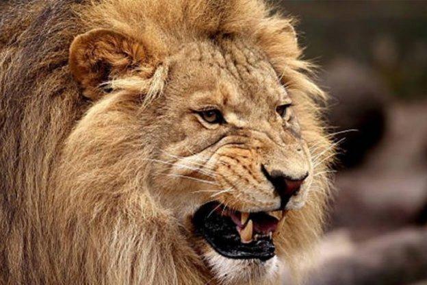 Un león se escapó de un parque nacional y devoró a un hombre que caminaba por la calle