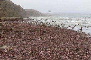 """Insólita invasión de """"peces penes"""" en una playa"""