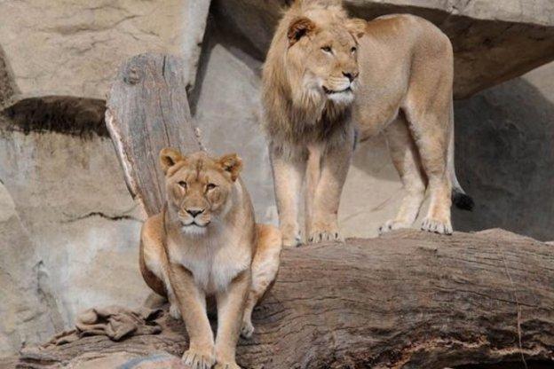 Una leona se suicidó luego de que sacrificaran a su pareja