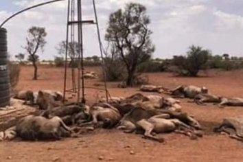 Comenzó la matanza de camellos en Australia