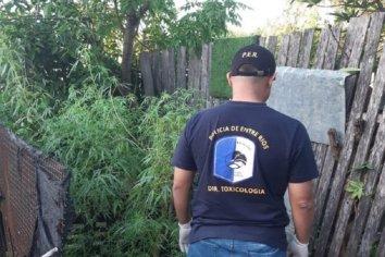 Allanamiento y secuestro de una enorme planta de Marihuana