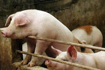 Criadores de cerdos deben sacrifican miles de animales en Estados Unidos