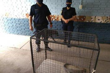Atraparon a un reptil que andaba por calle Ramírez