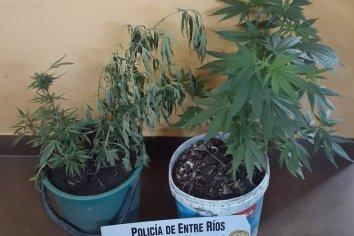 Allanaron un domicilio en búsqueda de elementos robados y hallaron plantas de marihuana