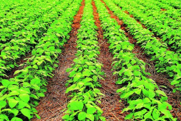 La soja voló 3,5% y cerró en u$s522,50 tras pronósticos de menor cosecha en EEUU y Sudamérica