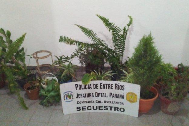 Robaron varias plantas y le allanaron la casa