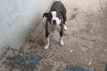 En allanamiento recuperaron un perro pitbull